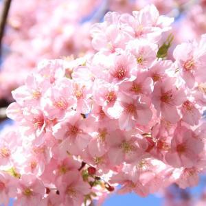 松戸駅付近の河津桜