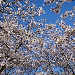 青い空と桜~*