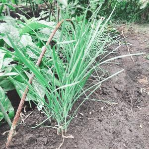 ♪三年もののお得野菜ニラと、水菜、パクチー、いんげん、二十日大根の種まき♡