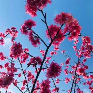 沖縄の桜は濃ゆめのピンク