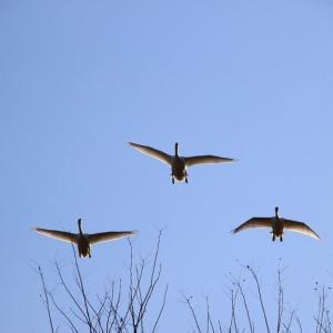 新春の青空を翔る~釈迦堂川の白鳥  ④