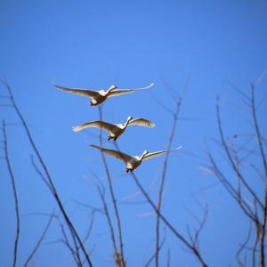新春の青空を翔る~釈迦堂川の白鳥  ⑤