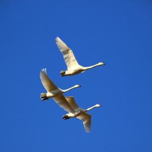新春の青空を翔る~釈迦堂川の白鳥  ⑥