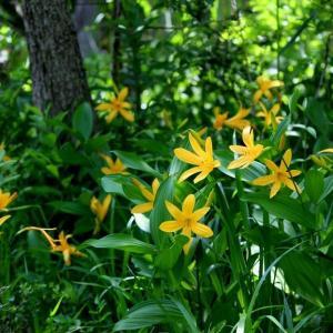 花咲き水踊る初夏の羽鳥湖高原湿地のニッコウキスゲ