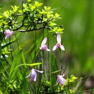 花咲き水踊る初夏の羽鳥湖高原湿地のトキソウ