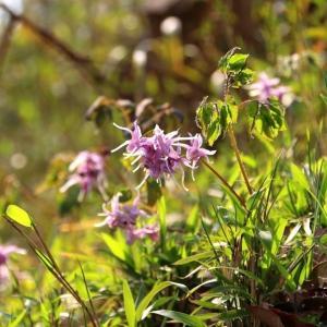 春の野の花巡り~イカリソウ