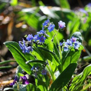 春の野の花巡り~ルリソウ ①