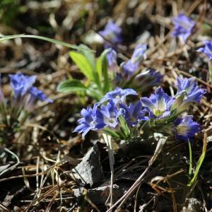 春の野の花巡り~フデリンドウ