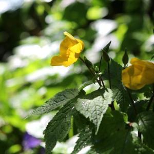 春の野の花巡り~久慈川源流のヤマブキソウ(山吹草)