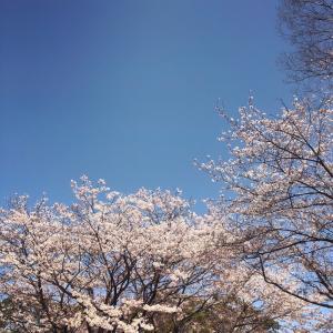 平日のお花見
