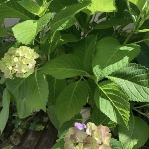紫陽花が咲いてきた!秋色紫陽花とウンベラータの植え替え