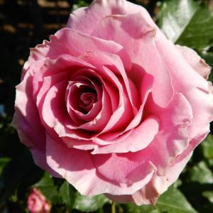 バラを撮りに行きたい