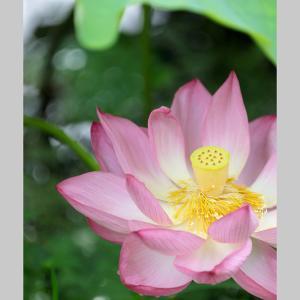 小田原に戻ってきました。 お出迎えは蓮の花です。