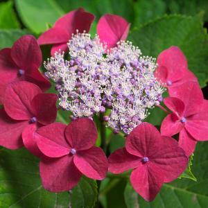 紅い紫陽花