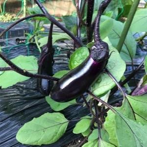 【家庭菜園】2020年夏野菜順調に成長中。初収穫しました♪
