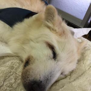 幸せな犬生を終えた老犬のお話。