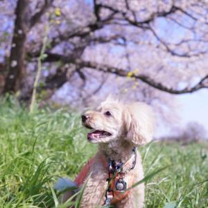 桜の散歩②