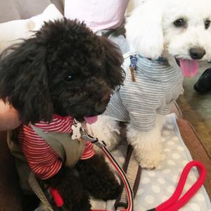 リコ、犬塾でトレーニング体験