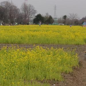 2月25日  思いがけず菜の花畑