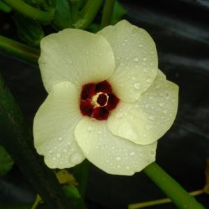 オクラの花がきれいです!