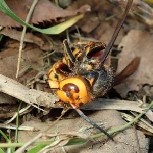 ● オオスズメバチの最後に涙した私 ・ スズメバチ科