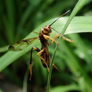 ● ニホンヒラタタマバチ ・ ヒラタタマバチ科