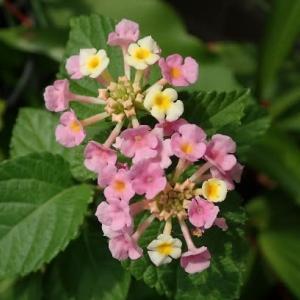 ● ベランダの花