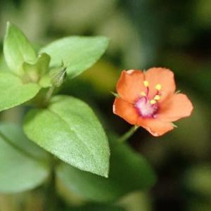 ● 思い出の花 「アカバナルリハコベ」