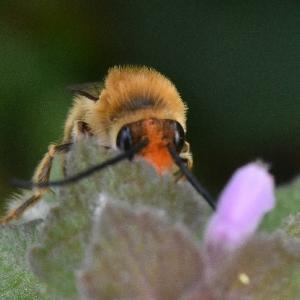 ● ニッポンヒゲナガハナバチの吸蜜