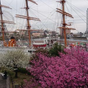 桜木町・みなとみらい 見下ろす桜と見上げる桜