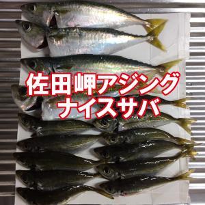 佐田岬アジングでアジとサバ【愛媛釣果情報】