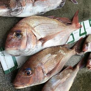 松山市沖でタイラバで真鯛!