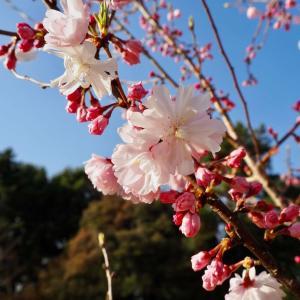 岐阜でも開花!2年ぶりに見る桜はこんな時だからこそ元気をくれる。