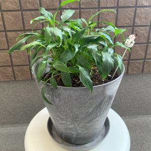 アマブロの植木鉢に植え替えしました!【スパティフィラム観察】
