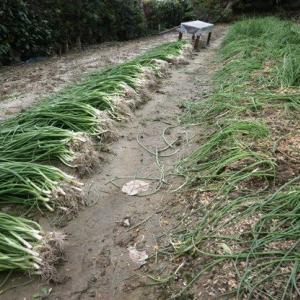玉葱の苗取り