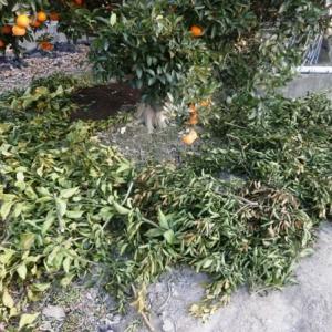 柑橘類の剪定