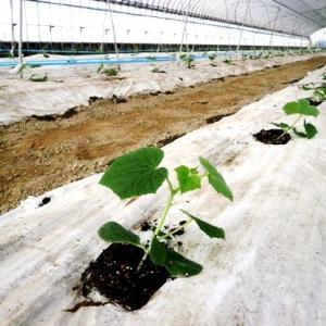 きゅうり苗定植