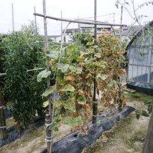 家庭菜園のきゅうり