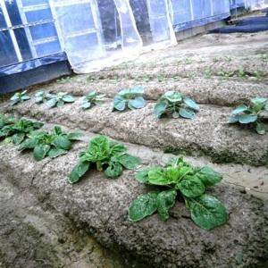 家庭菜園冬野菜