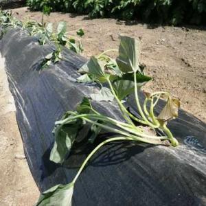 サツマイモ苗植える