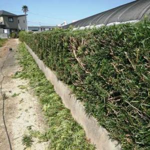垣根の剪定