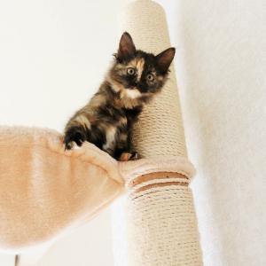 キャットタワーに登れる様になった子猫たち