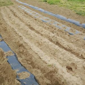 昨日に引き続きジャガイモの種芋を2㎏を植えましたお♪