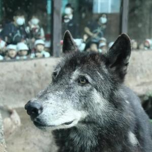 優しい目の狼。