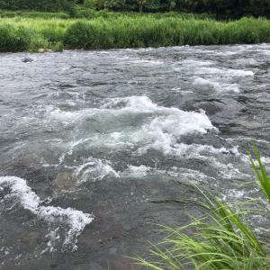 玖珠川にて、ヤマメが 振り向く振り返る