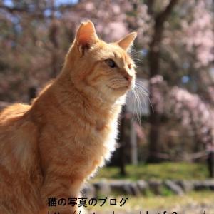 桜が咲き乱れる京都の春