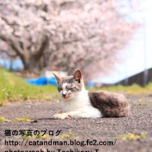 午前中の桜並木で待つ猫