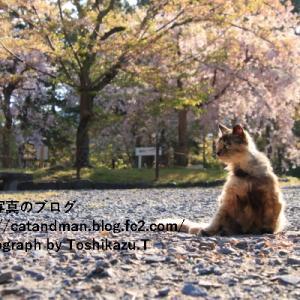 京都の終い桜と猫