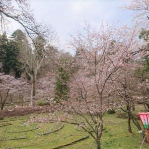 船岡公園の桜 と ZOOMセミナー