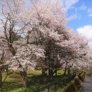 コロナをよそに、桜が満開